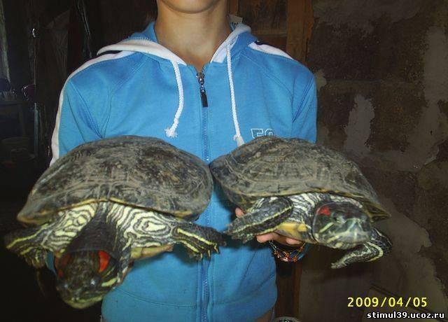 До каких размеров вырастает черепаха в домашних условиях 330